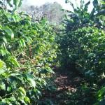 グアテマラコーヒーの名産地コバンでコーヒー農園見学